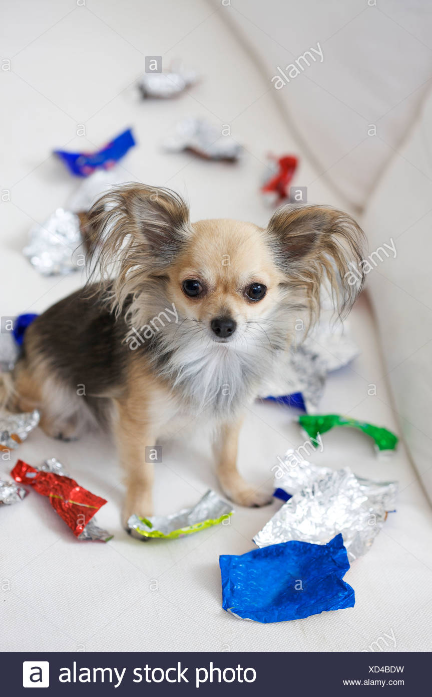 Dog Eating Candy With Wrapper