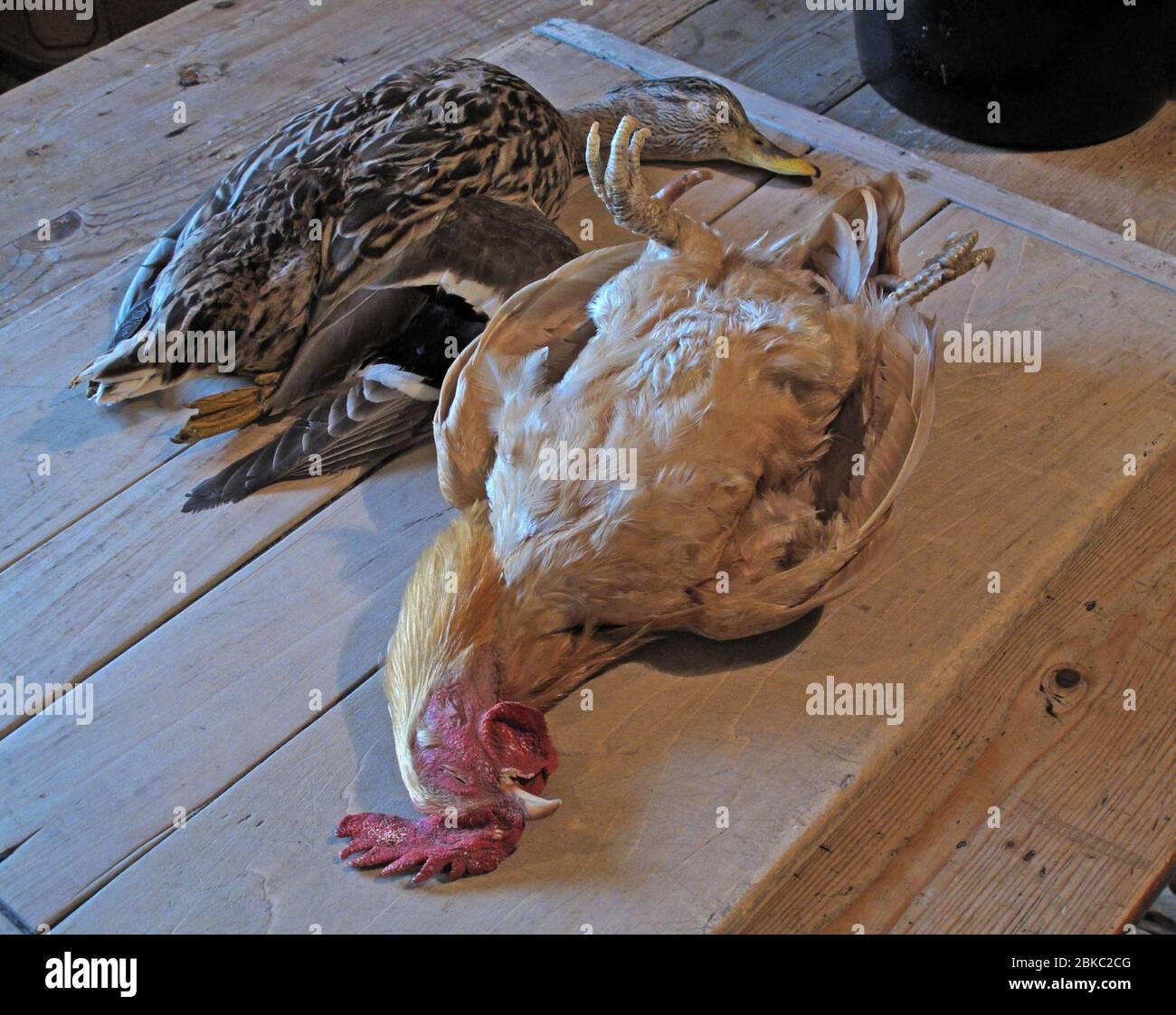 Dieses Stockfoto: Spiel, Ente, Huhn bereit, zum Abendessen vorbereitet werden, in einer großen Küche - 2BKC2C