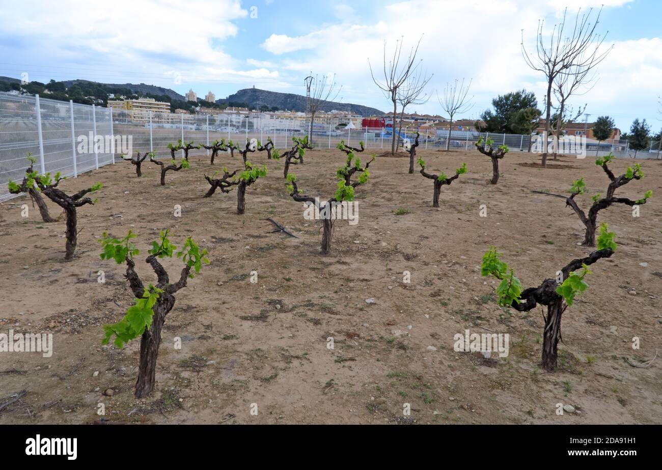 Dieses Stockfoto: Weingut, Moraira, in der Nähe, Alicanti Weinregion, Spanien, Espana, Weinbau - 2DA91H