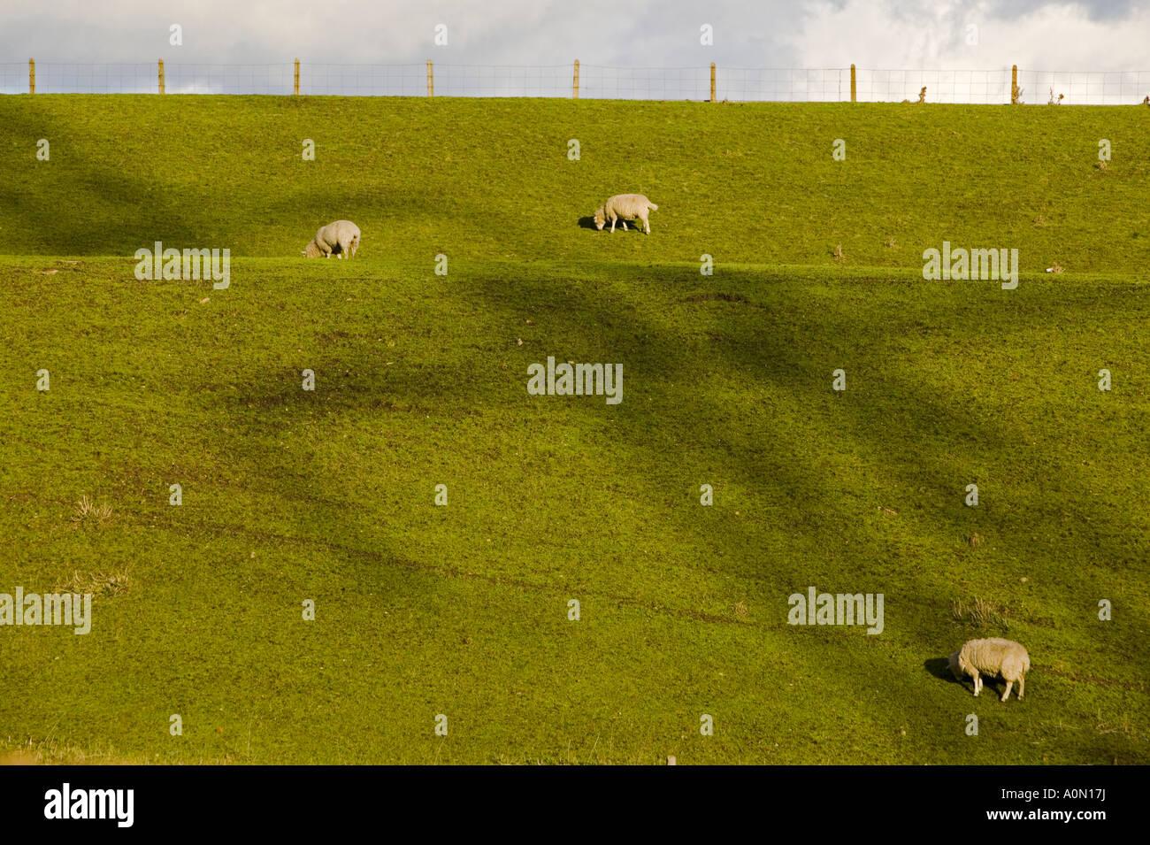 Schafe weiden unter dem Schatten eines Strommastes seitlich an der William Girling Reservoir, Edmonton, London, Stockbild