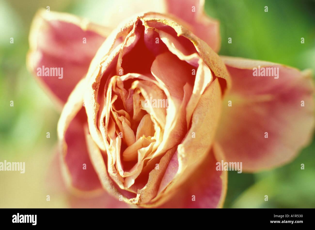 Rose, close-up Stockbild