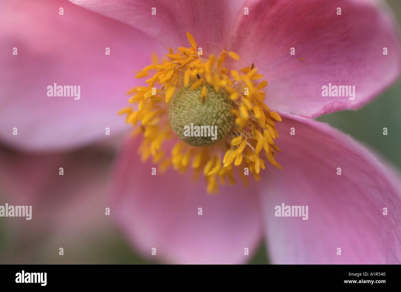 Rosa Blüte, Nahaufnahme Stockbild