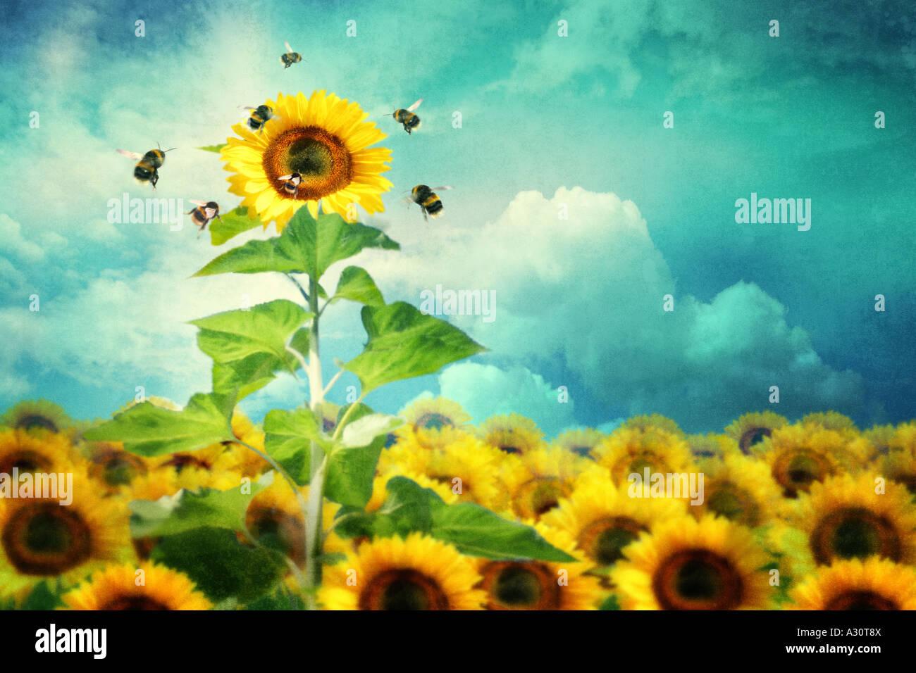 Konzept-Bild einer hohen Sonnenblume hervorstechen und zieht mehr Bienen Stockfoto