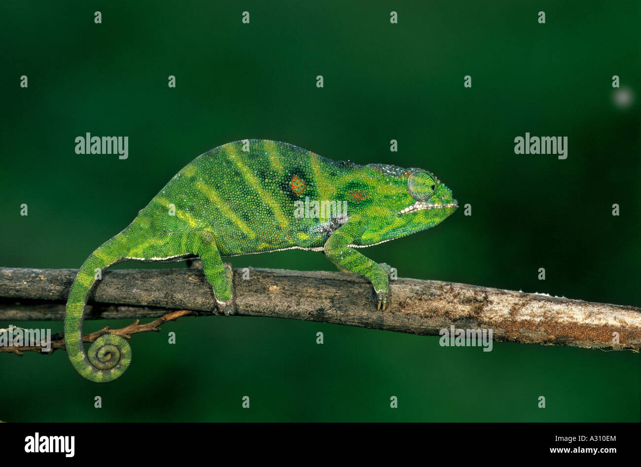 Chamäleon Furcifer minor Stockbild