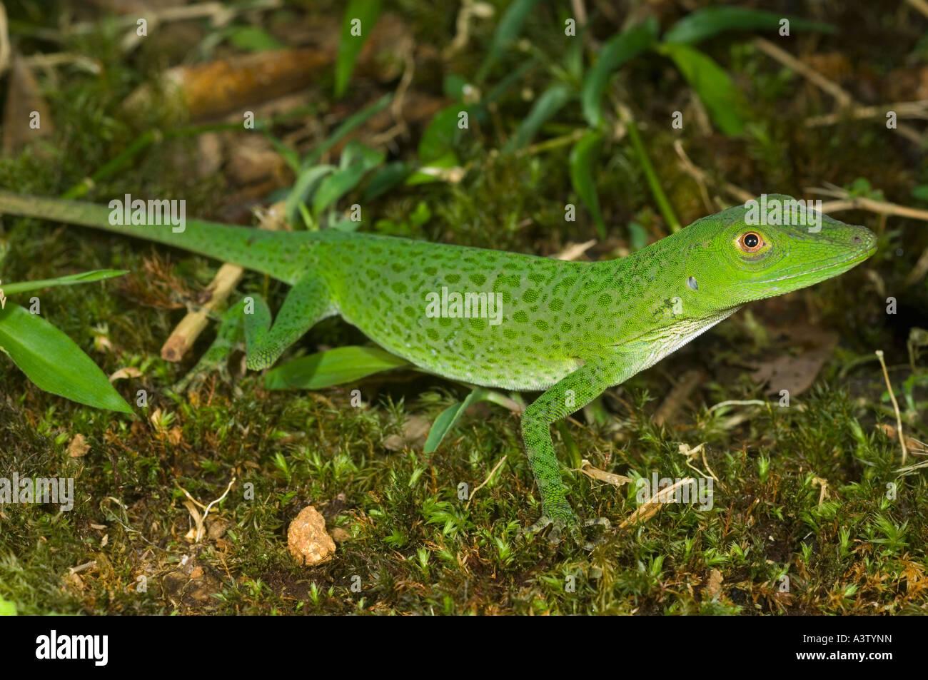 Unbekannte Arten von Wild grüne Anole Eidechse, Pirri Berg, ca 5000 ft Nationalpark Darien, Panama Stockbild