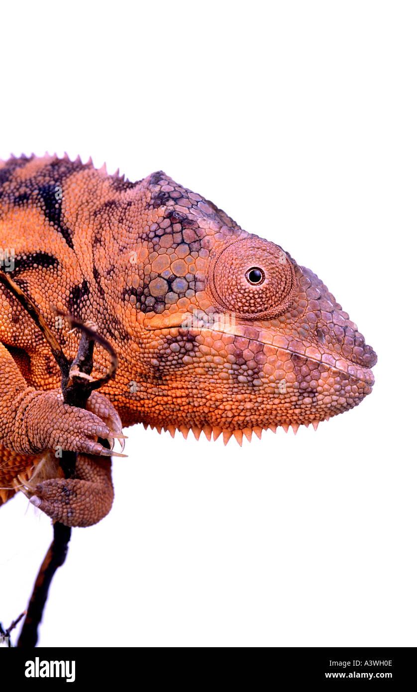 Panther Chamäleon Furcifer Pardalis Stockbild