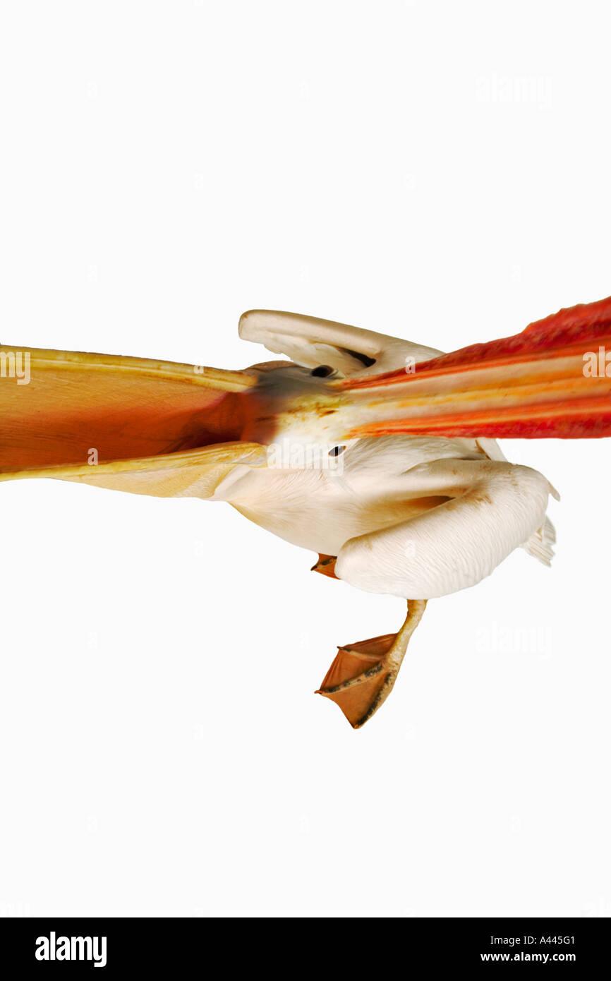 Weißer Pelikan. Pelecanus Onocrotalus. Große Vögel, die in Kolonien Leben. Haben webbed Zehen und lange abgeflachten Stockfoto