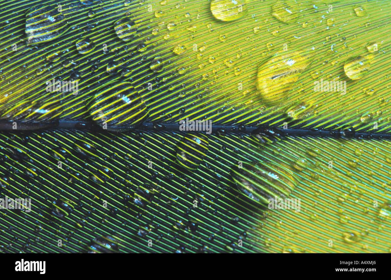 Aras (Ara spec.), Feder ein Ara mit Wassertropfen Stockbild