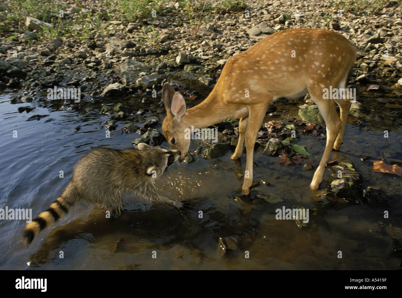 Autsch: Raccoon (Procyon Lotor) Creek beißt weiß - angebundene Rotwild Rehkitz auf der Nase (2. Reihe), Stockbild