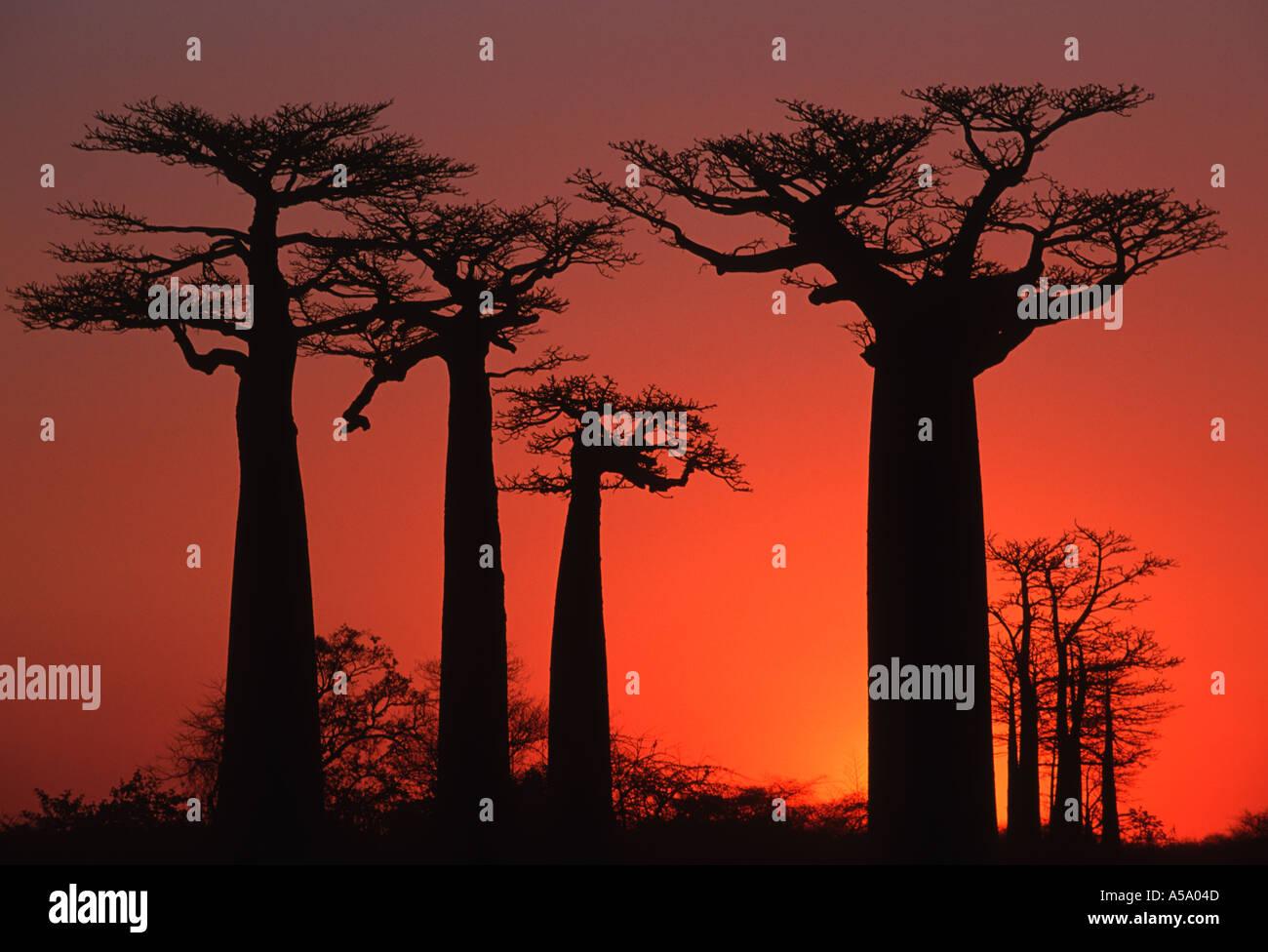 Baobab Baum Affenbrotbäume Grandidieri bei Sonnenuntergang in der Nähe von Morondava Madagaskar Stockbild