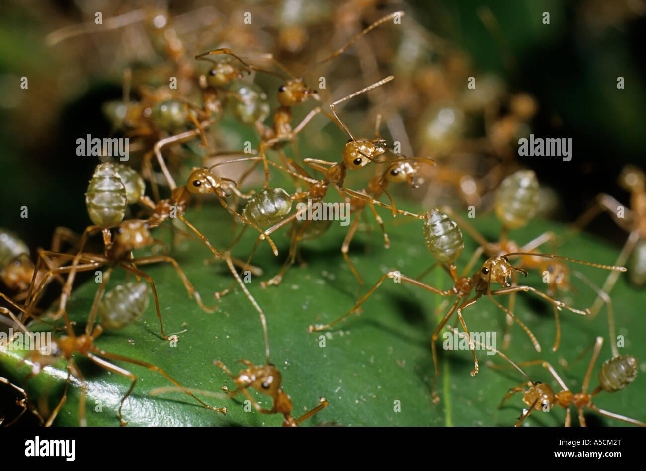 green ants australia stockfotos green ants australia bilder alamy. Black Bedroom Furniture Sets. Home Design Ideas