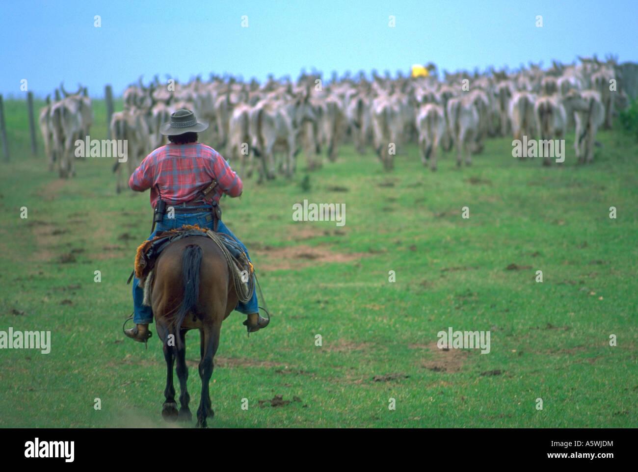 Painet Hk2377 Pantanerio Cowboy Leitet Diese Herde Rinder Zurck Pantane Kaiman Ranch Mato Grosso Bereich Pantanal Brasilien Mit Der Angst