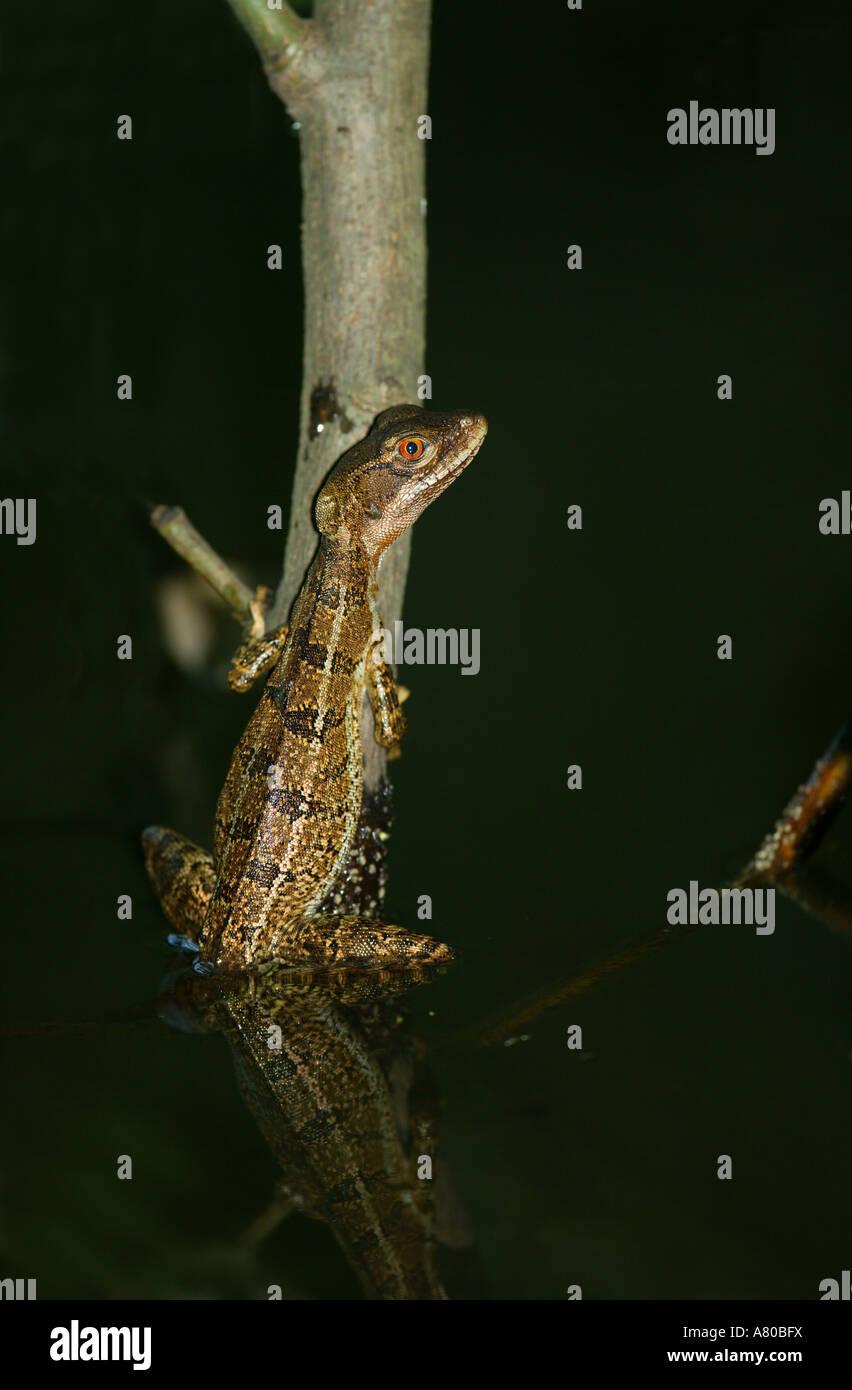 Gemeinsame Basilisk (Jesus Christ Lizard), Sci. Name; Basiliskos Basiliskos, im Stadtpark, Republik von Panama. Stockbild