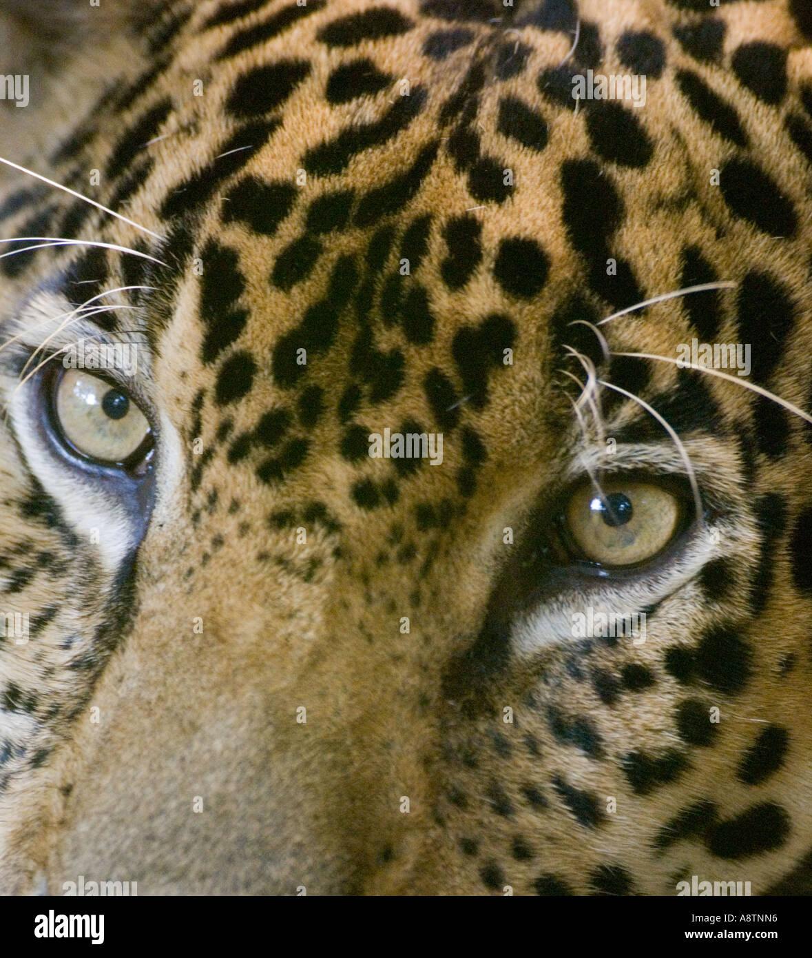 Jaguar in Gefangenschaft Panama Stockbild