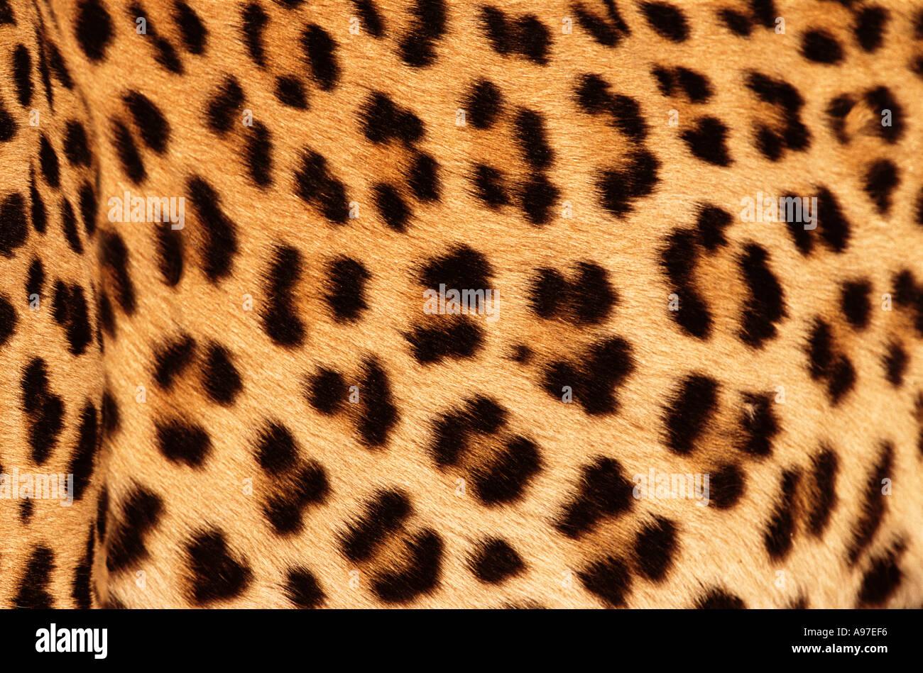 Leopardenfell Stockbild