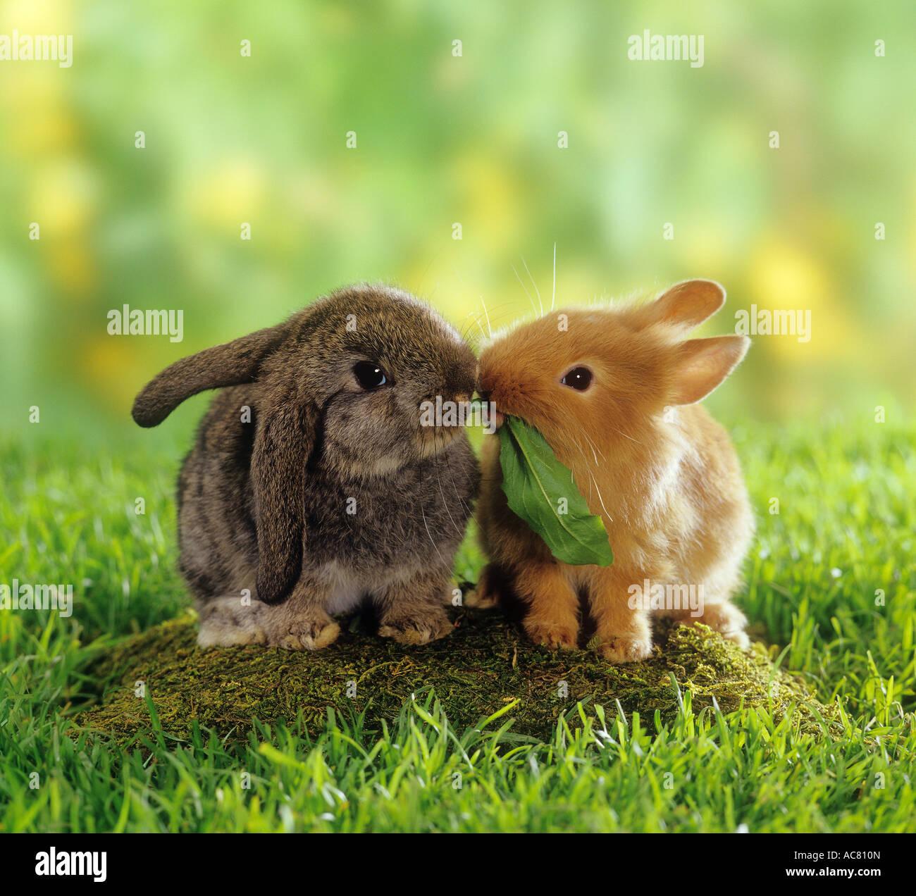 zwerg kaninchen und h ngeohrigen zwergkaninchen essen ein blatt stockfoto bild 13071188 alamy. Black Bedroom Furniture Sets. Home Design Ideas