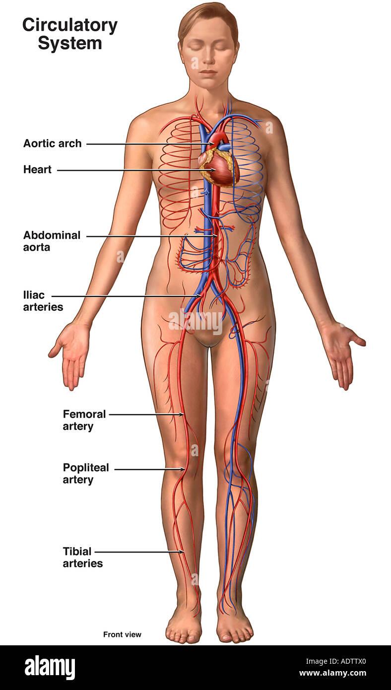 Anatomie des Herz-Kreislauf-Systems - weiblich Stockfoto, Bild ...