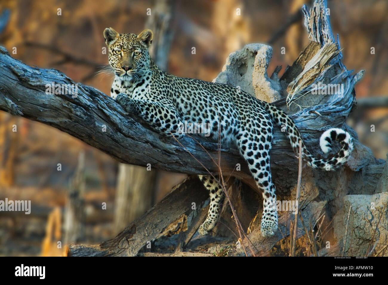 Leoparden im Baum Khwai Botswana ruht Stockbild