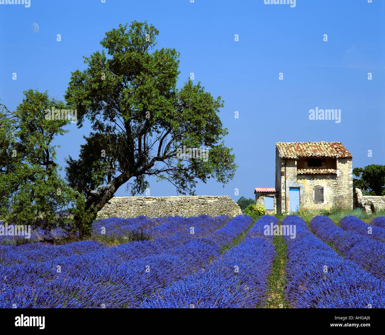 FR - ALPES-DE-HAUTE-PROVENCE: Lavendelfeld und Baum auf Plateau de Valensole in der Nähe von Puimoisson Stockbild