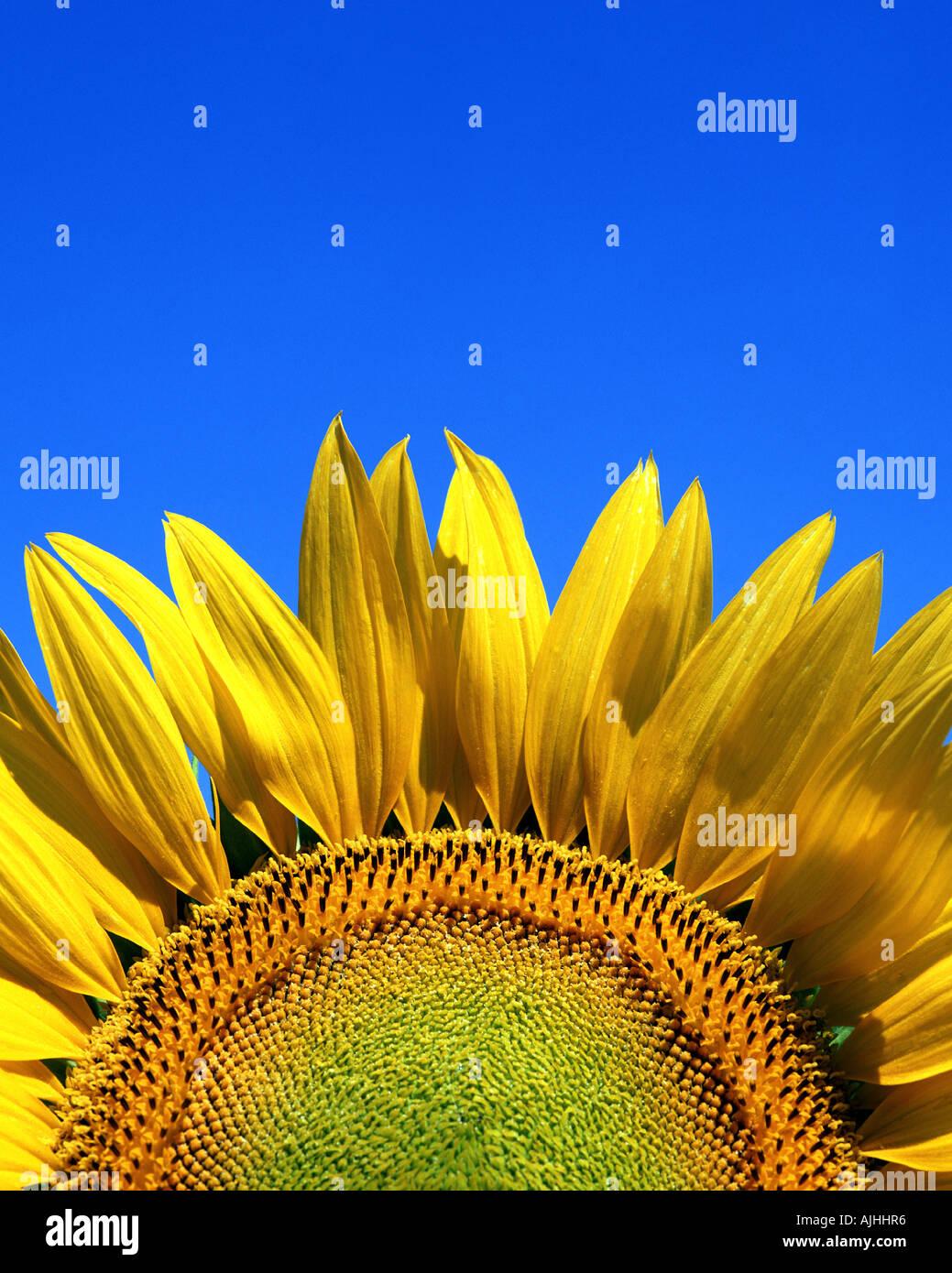 FLORA: Sonnenblume (Lat: Helianthus) Stockbild