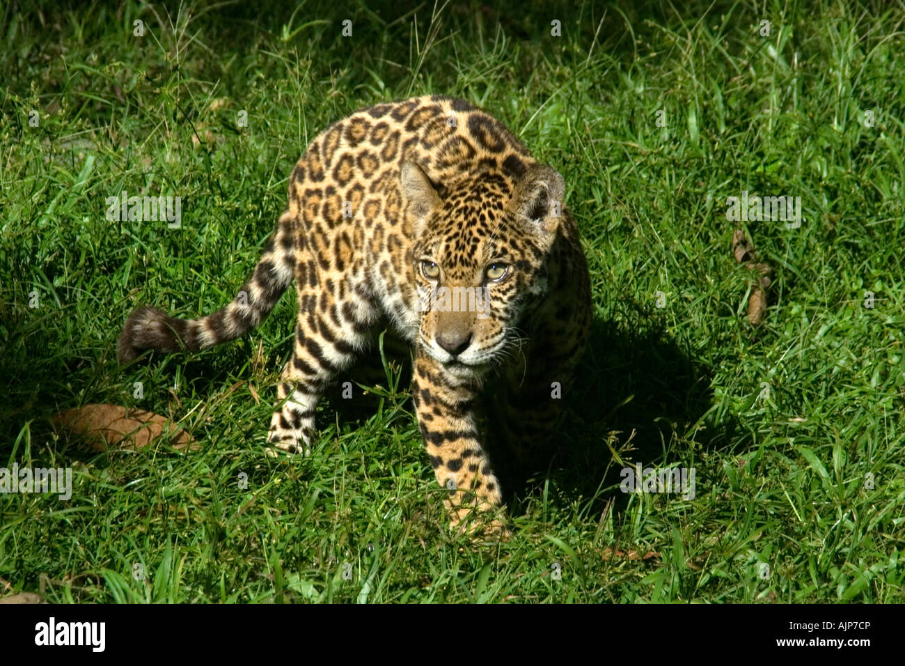 Jaguar Panthera Onca Manaus Amazonas Brasilien Stockbild