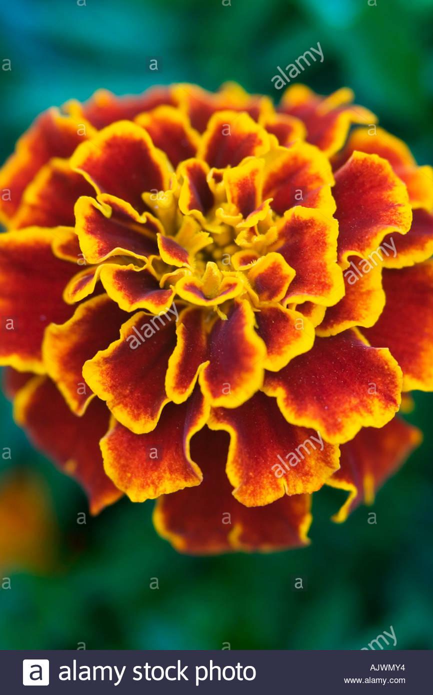 Französische Ringelblume Nahaufnahme Romeo Blütenstand vor grünem Hintergrund Stockbild