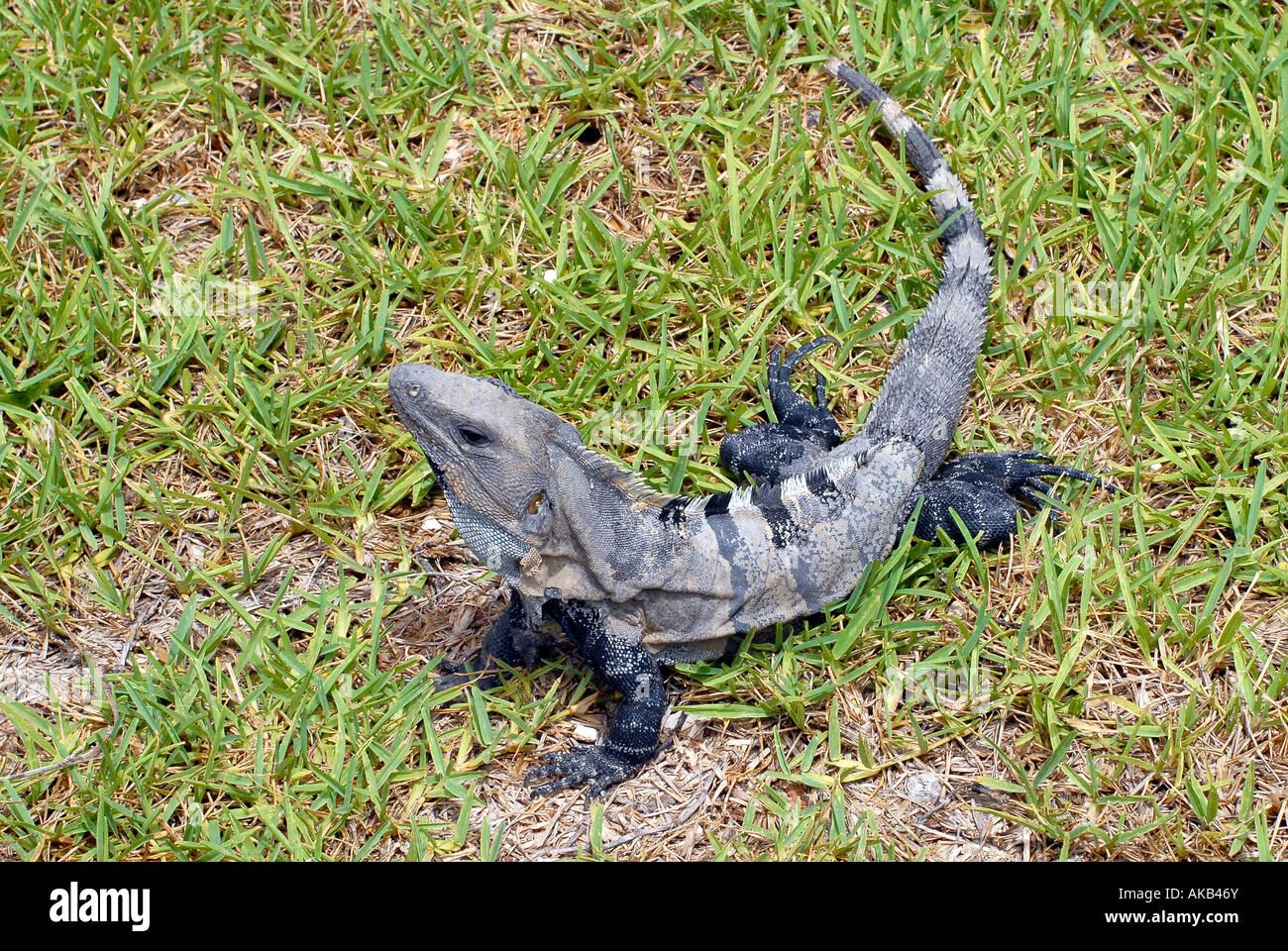 Eine ctenosaura stacheligen tailed Iguana auf grünem Gras Stockbild