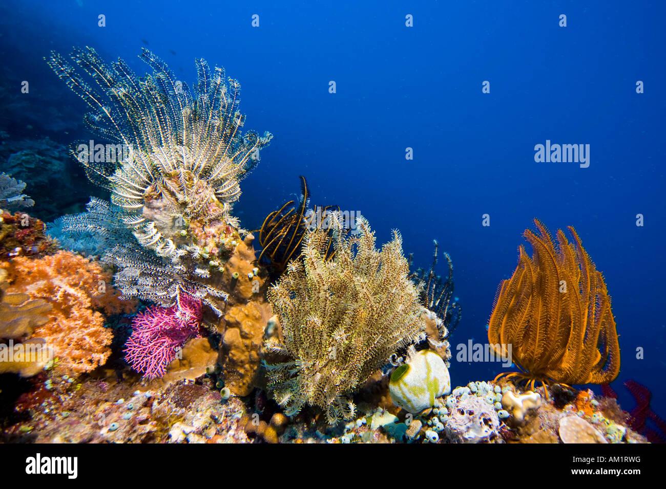 Farbe-herrliche Korallenriff mit Federsternen bedeckt. Stockbild