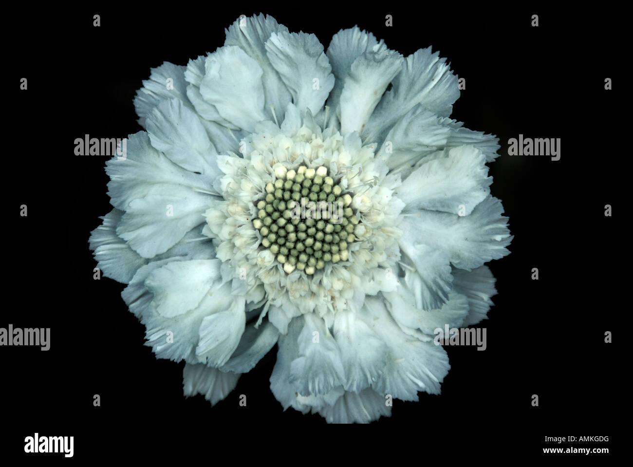 Nahaufnahme einer blassen blauen Witwenblume Blume auf einem schwarzen Hintergrund Stockbild