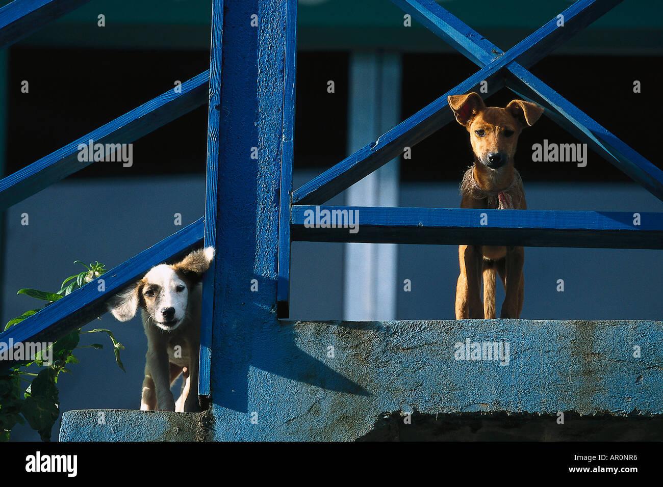 Hunde, Westindische Inseln Tobago, Karibik Stockbild