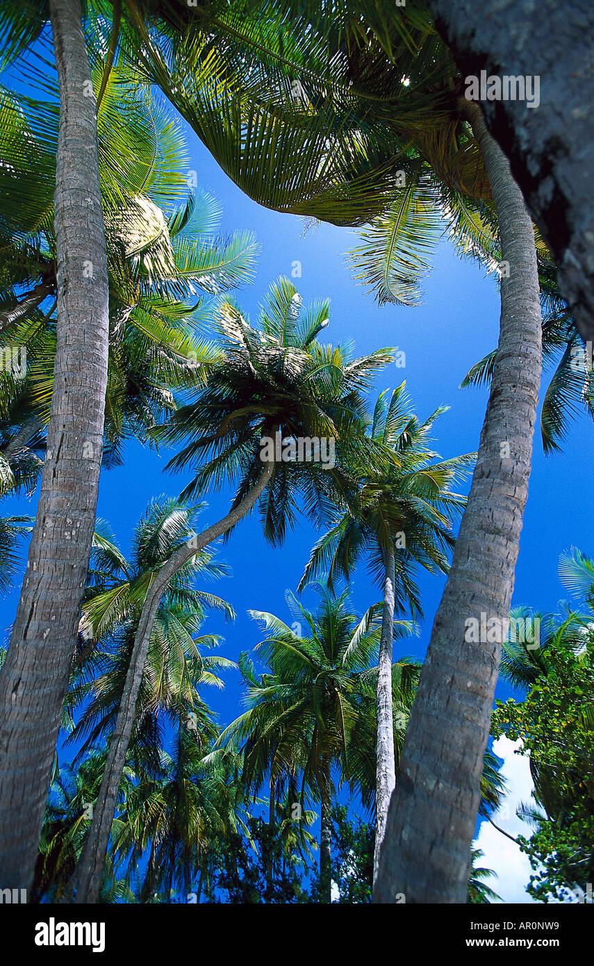 Kokospalmen, Westindische Inseln Tobago, Karibik Stockbild