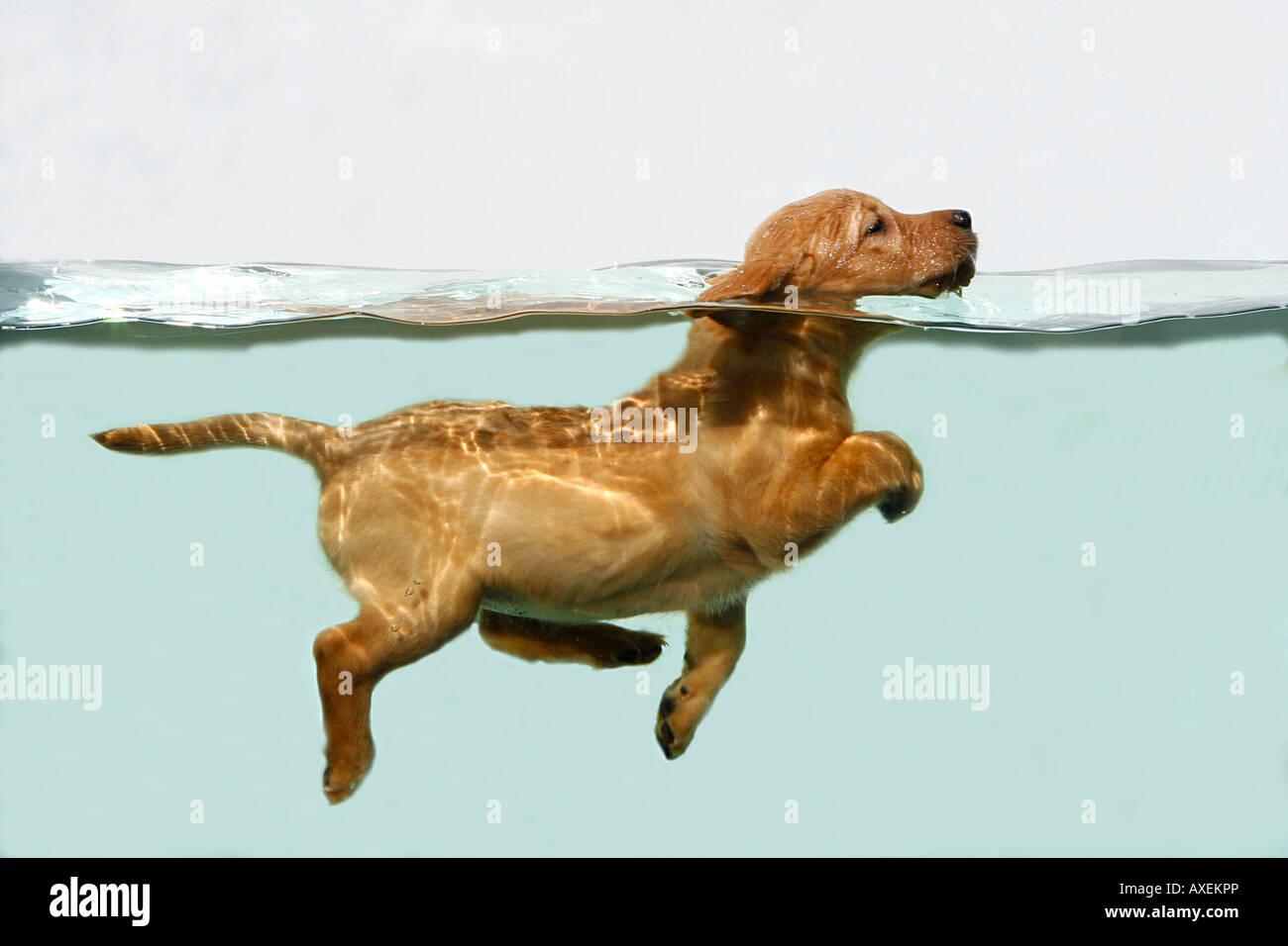 Retriever stockfotos retriever bilder alamy - Aquarium hintergrund ausdrucken ...