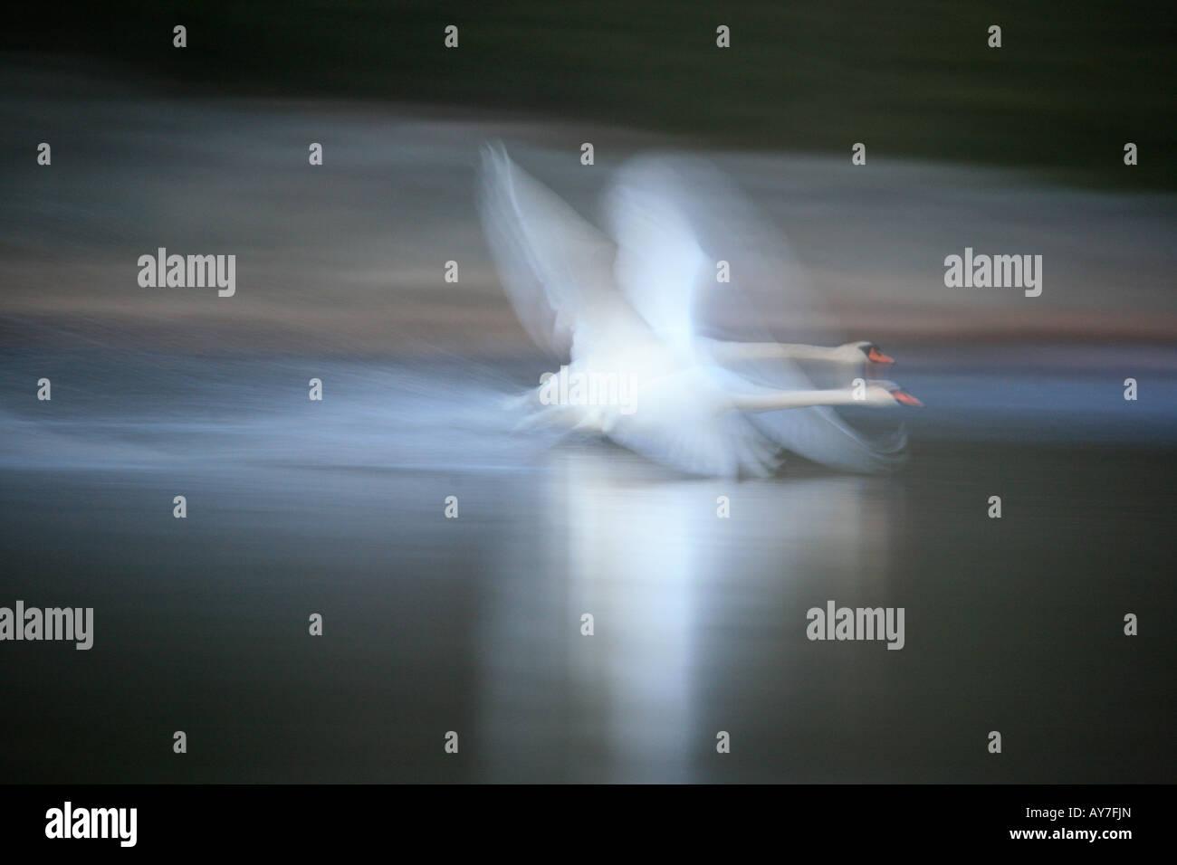 Mute Swan im traumhaften Flug über den See Vansjø, Østfold Fylke, Norwegen. Stockbild