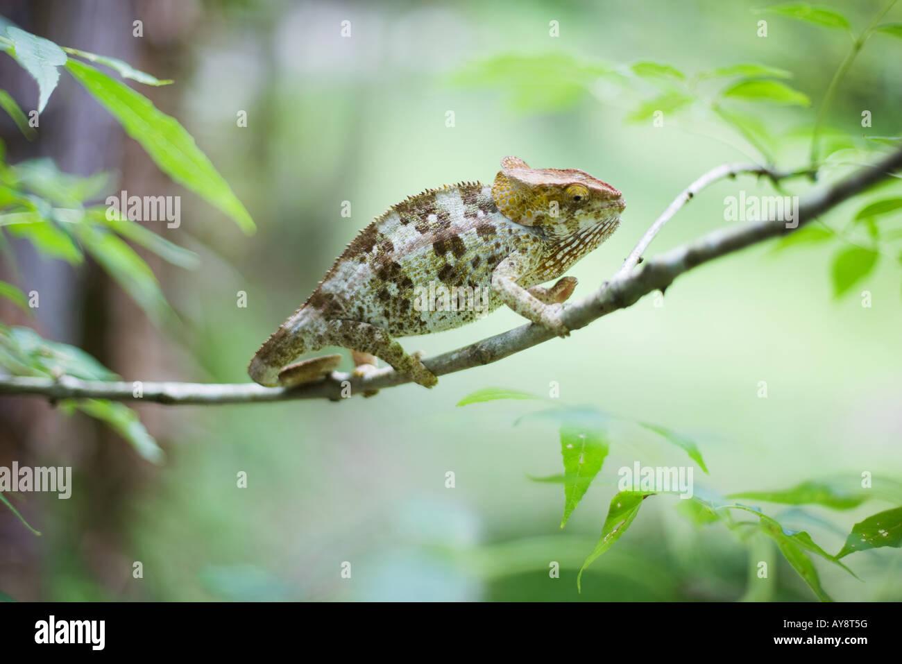Chamäleon auf Zweig, Seitenansicht Stockbild