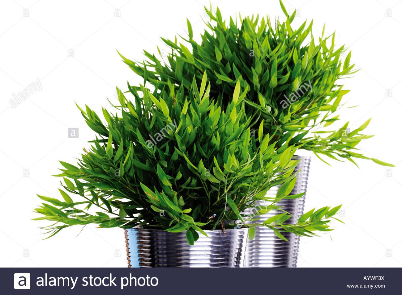 Bambus Pflanzen, Zimmerpflanze, Indoor Anlage Stockbild