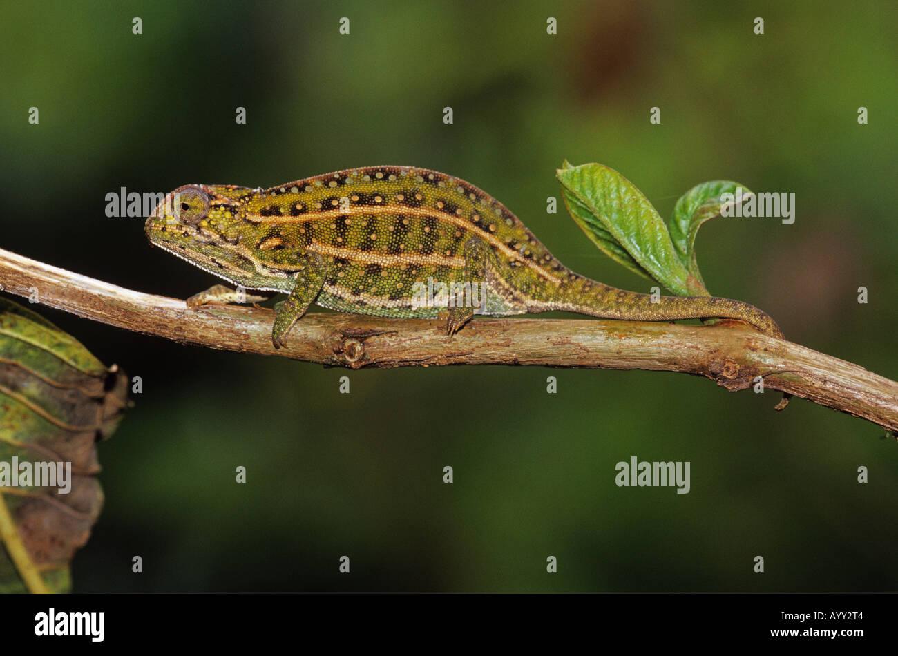 jeweled Chamäleon auf Zweig Furcifer lateralis Stockbild