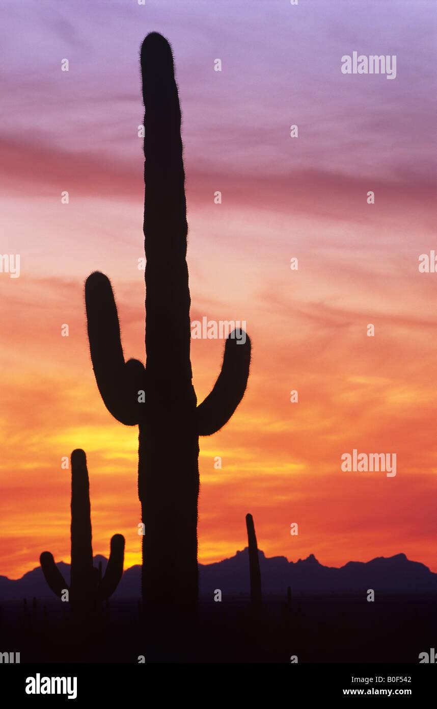 Saguaro-Kaktus vor dramatischen Sonnenuntergang Himmel, Saguaro National Park, Arizona USA Stockbild