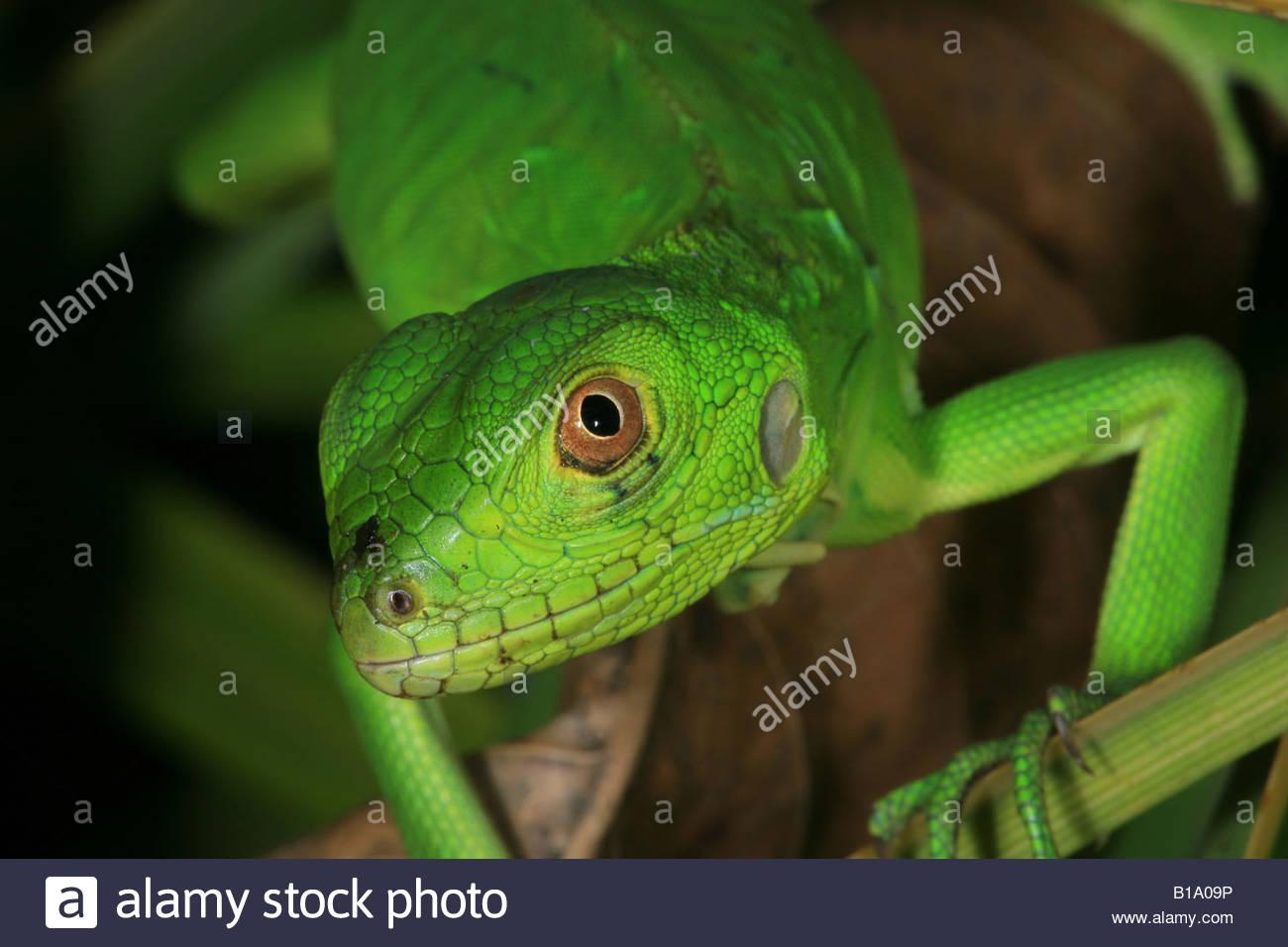 Juvenile grüner Leguan, sci.name; Iguana Iguana in Penonome, Cocle Provinz, Republik von Panama. Stockbild