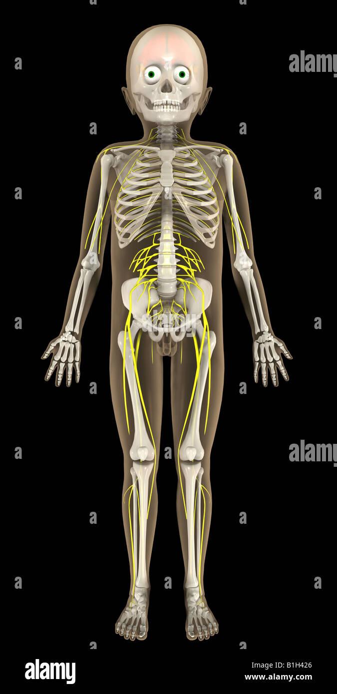 Anatomie Skelett Gehirn Nerven Stockfoto, Bild: 18201406 - Alamy