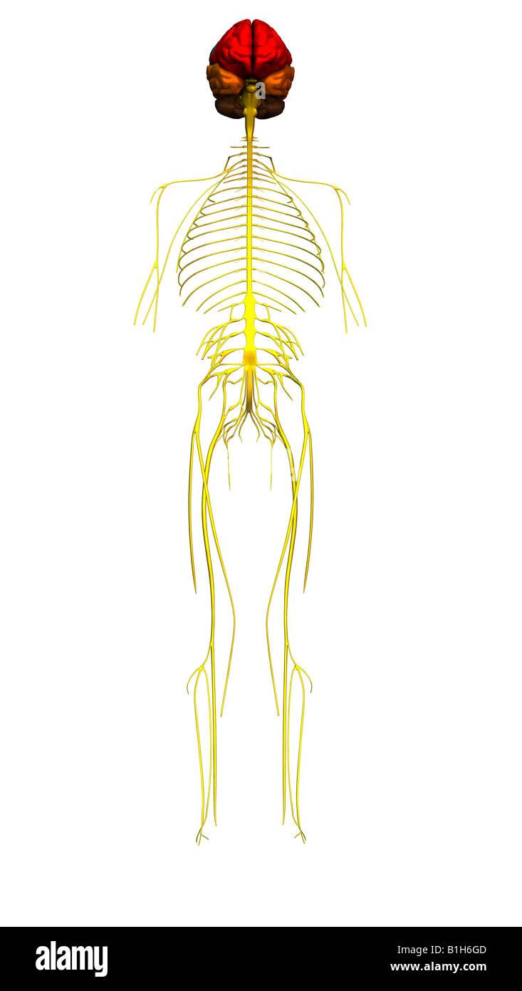 Anatomie Gehirn Nerven Stockfoto, Bild: 18203373 - Alamy