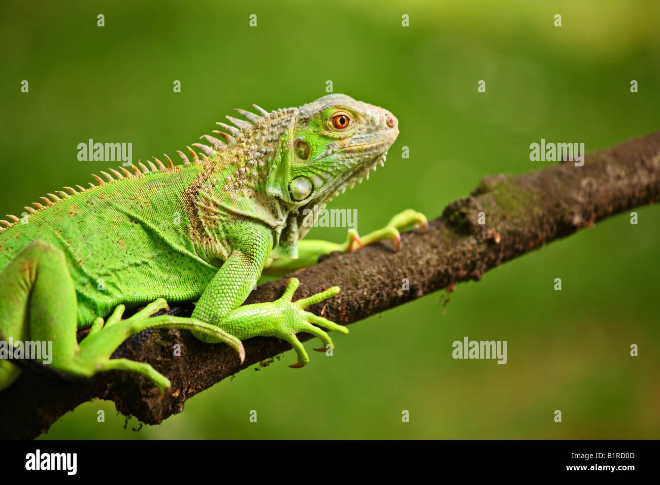 Leguan auf einem Ast Stockbild