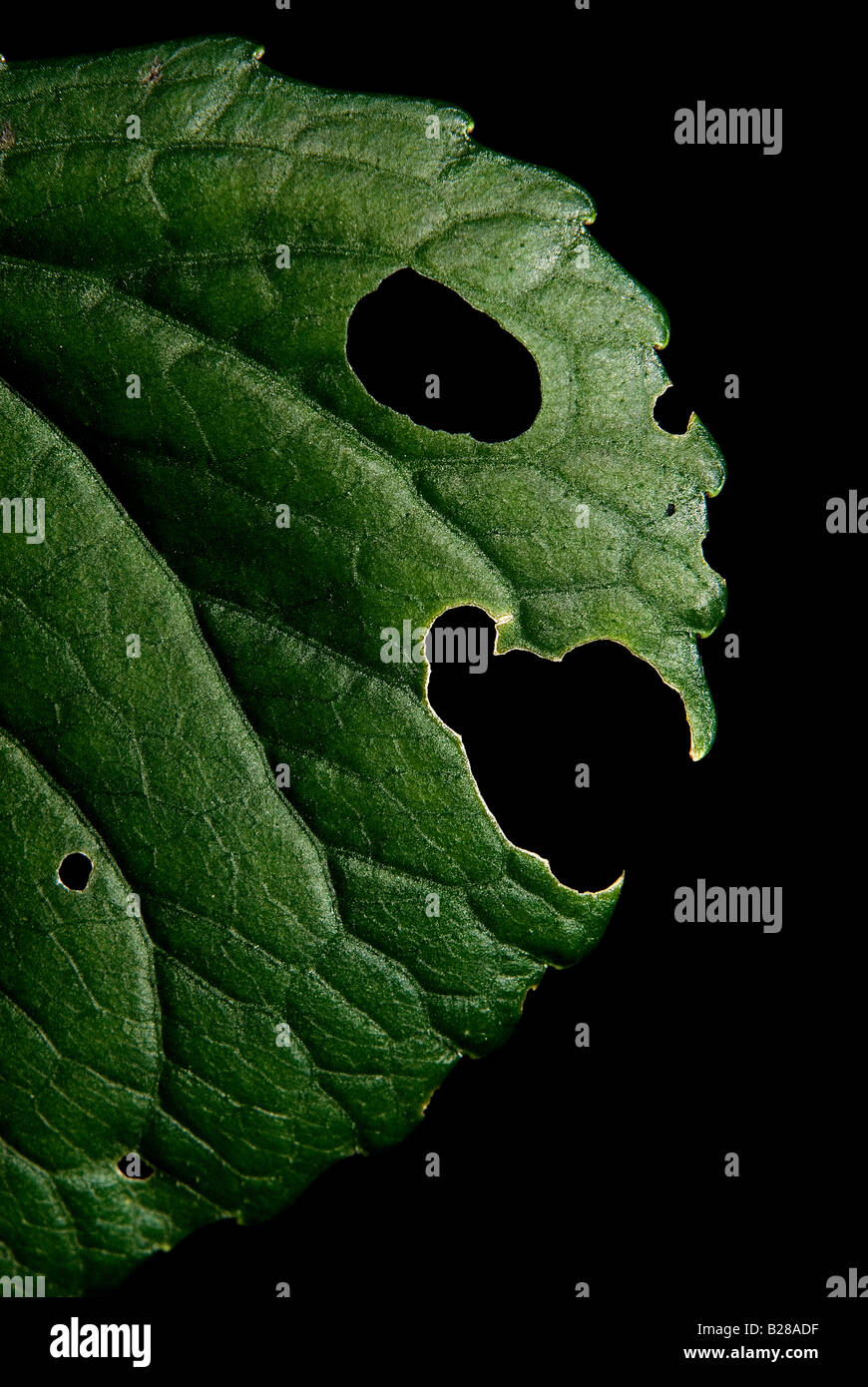 Grüne Pflanze. Blatt-Gesicht. 2008 Stockbild