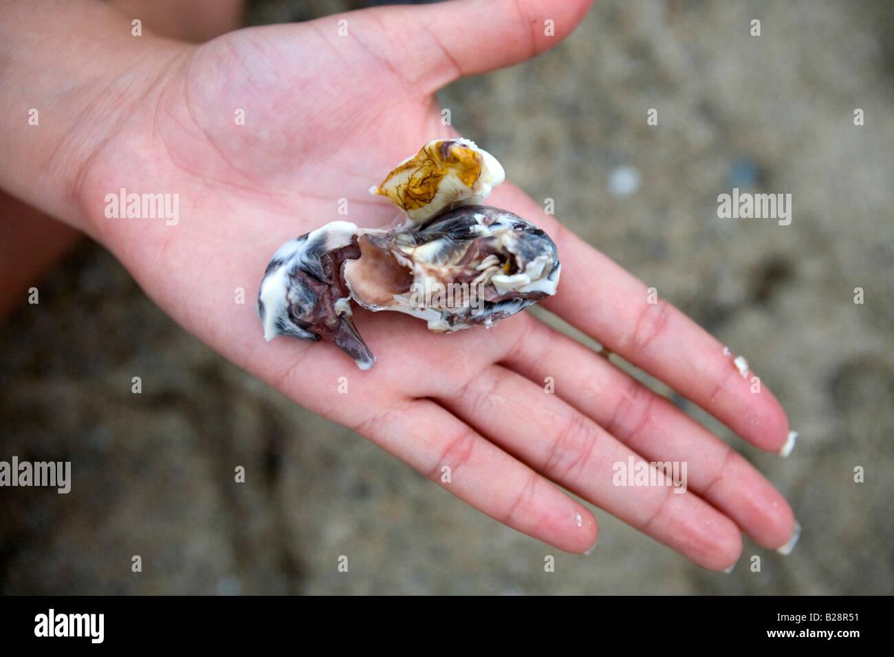 Eine Filipina hält einen Ente Embryo entfernt ein Balut in Puerto Galera, Oriental Mindoro, Philippinen. Stockbild