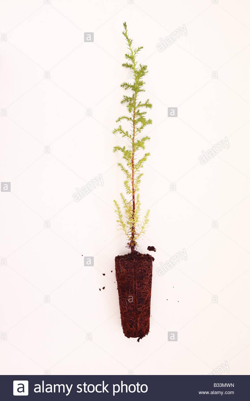 Baum mit wei em stamm wandtattoo baum von asiatische birke sch n und knorrig wachsender baum - Baumchen vorgarten ...