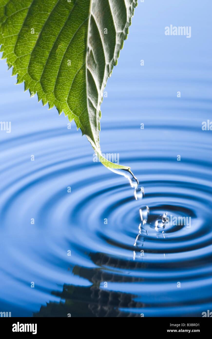 Wassertropfen vom Blatt verursacht Wellen fallen. Blühender Kirschbaum Blatt. Stockbild