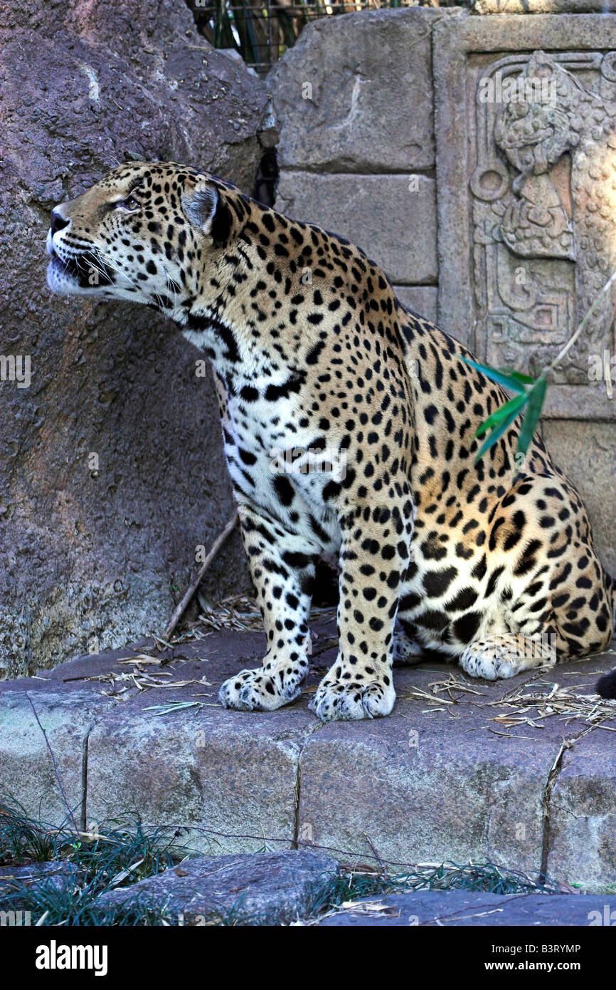 Ein Jaguar ruht im Audubon Zoo in New Orleans. Stockbild