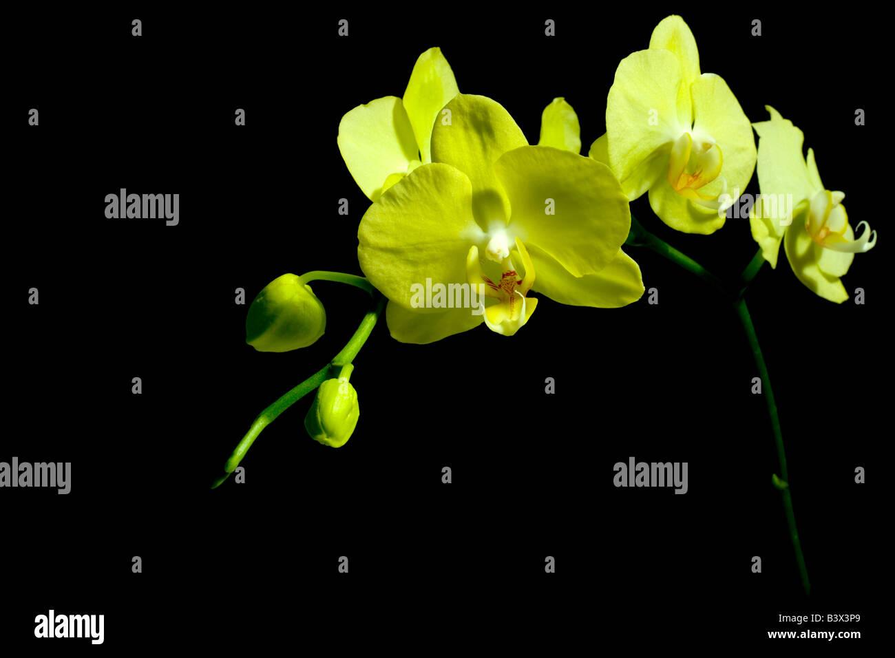 Gelben Blüten auf schwarzem Hintergrund Stockbild