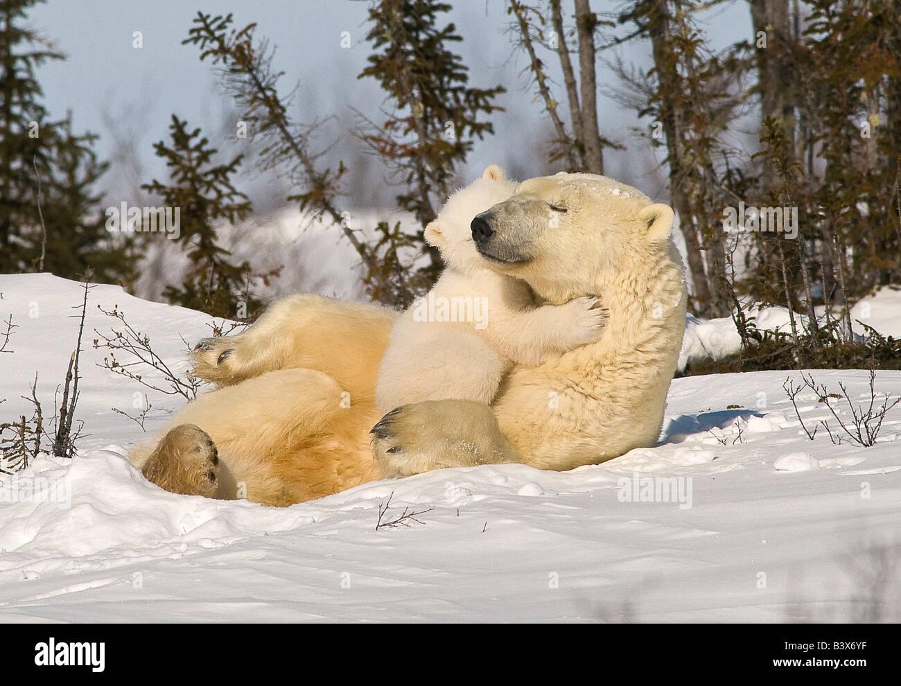 Eisbär (Ursus Maritimus) mit Jungtier Stockbild
