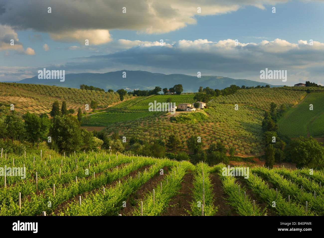ein Weinberg in der Nähe von Montefalco im Val di Spoleto, Umbrien, Italien Stockbild