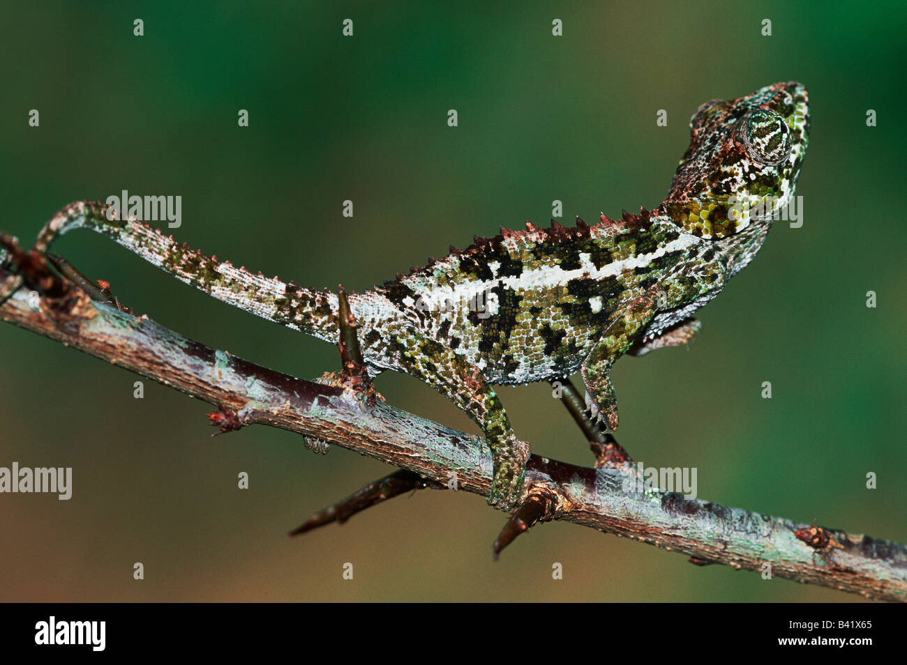 Warzige Chamäleon Furcifer Verrucosus Madagaskar-Afrika Stockbild